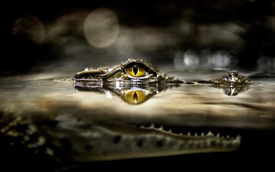 Crocodile-with-in-the-water-surface-eye-hd-wallpapers-widescreen-desktopbackground-high-resolutoin-images-high-defination-picture