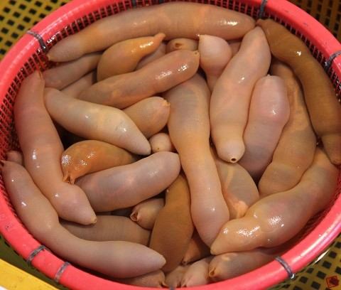 spoon-worm